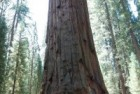 Sequoia 2008 – General Sherman Sequoia