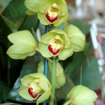 greenorchid